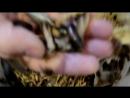 Nauphoeta cinerea