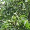 Ореховый сад, как свой бизнес.
