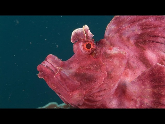 Mucky Secrets - Part 14 - Scorpionfishes, Rhinopias, Lionfishes - Lembeh Strait