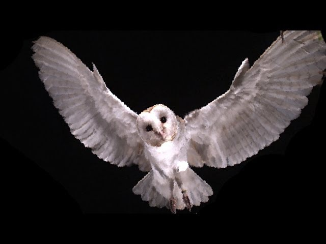 Slow Motion Barn Owl Attack - Slo Mo 11 - Earth Unplugged