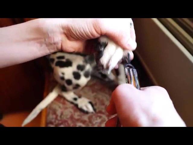 Как Безболезненно Подстричь Когти Собаке При Помощи Гильотины