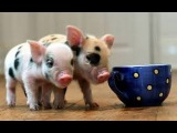 НЕРЕАЛЬНО СМЕШНО!! МИНИ ПИГИ, мини свинки. Смешное видео. приколы с животными.