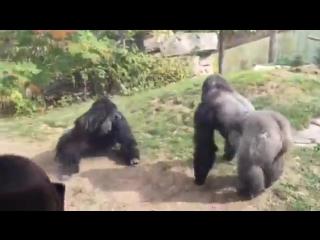 Две гориллы устроили зрелищный бой в стиле UFC