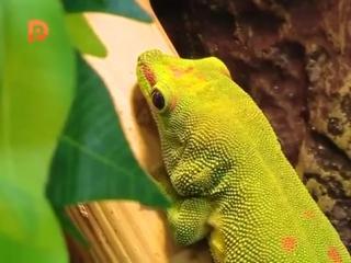 Дневной мадагаскарский геккон. Программа Лапушки в Экзотариуме 18.02.16