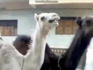 Верблюд смеется как Питер Гриффин. Ахахаха! Ржу! Очень смешно!