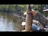 Ловля щуки на течении колебалками на закоряженных участках реки.