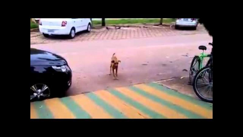 Dancing dog (distemper)