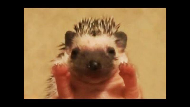 Hedgehog. Igel. Ежик, ёж и ежики. Приколы с ежиками. Смешные и агрессивные ежики. Подборка. » Freewka.com - Смотреть онлайн в хорощем качестве