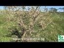 Формировка, обрезка алычи, сливы, вишни, черешни, абрикоса, персика кустом.