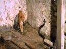 Кот против Кобры фрагмент из к ф Змея в тени Орла