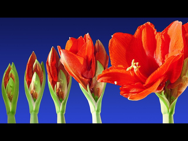 Stunning Blooming Flowers Relax Music - 2 Hours Timelapse - Color Therapy - Sleep Music - HD 1080P