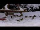 Щеглы,чижи,зяблики,снегири,овсянки,зеленушки,скворец и чёрные дрозды