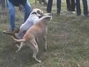 Собачьи бои ПитБуль