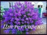 Цветет сирень группа