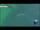 Стая разъяренных касаток набросилась на акулу