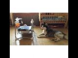"""danita on Instagram: """"#Хаски #малышисобака #Дети #младенец #милоевидео  милота  Очень люблю собак, особенно лабрадоров и хаски, больших умных собак😍 Собаки…"""""""
