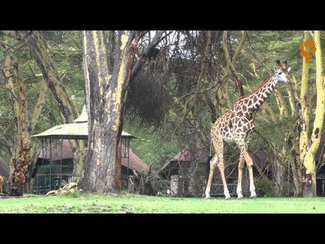 Дикая Африка. Природа Кении - Озеро Найваша