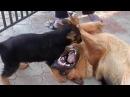 СОБАЧИЙ БОЙ! ЩЕНОК Немецкой Овчарки и его отец. Dog fighting Одесса.