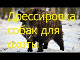 Испытание и дрессировка собак для охоты в HD.