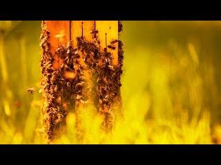 Пчелиные танцы