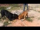 Собачьи бои питбуль vs ротвейлер тест