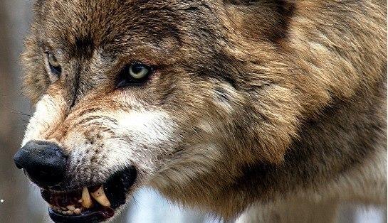 Якутия ежегодно теряет 600 млн рублей из-за нападения волков на лошадей и оленей