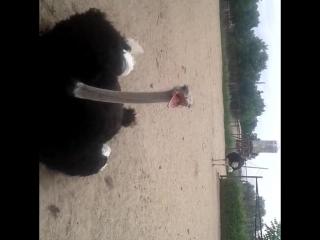 Vlog из страусиной фермы xD