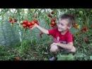 Выращивание томатов в природном земледелии (семинар)