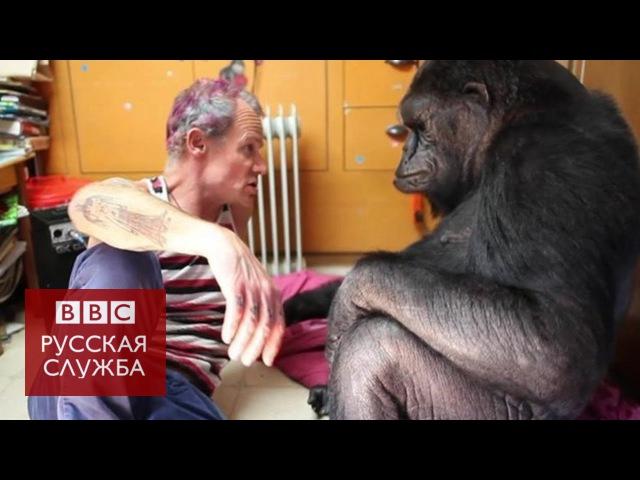 Басист Red Hot Chili Peppers сыграл для гориллы Коко смотреть онлайн без регистрации