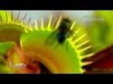 Венерина мухоловка ест муху