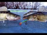 Как ловить судака и окуня зимой! Зимняя рыбалка на хищника!
