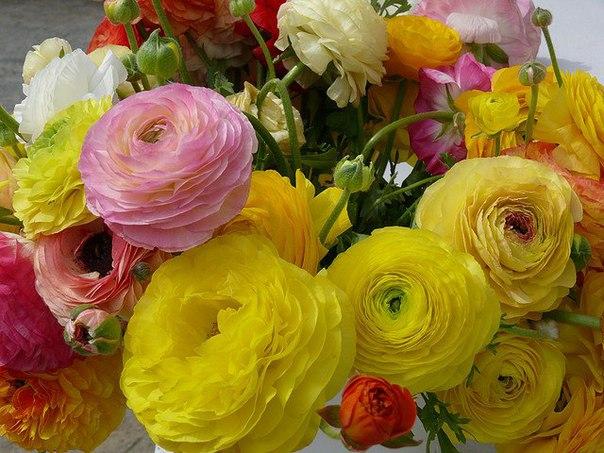 Родиной ранункулюса являются восточные страны. В 16 веке этот цветок был завезен...