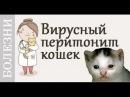 Вирусный перитонит кошек (FIP). Советы ветеринара
