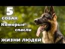 5 собак которые спасли жизни людей