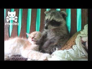 Забавный енот достает кота