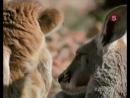 Сериал «Мир природы» [5 серия - Австралия. Мы принимаем жару]