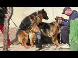 ЖДЕМ ЩЕНКОВ. ВЯЗКА Немецких Овчарок Ральфа и Роксы. Mating German shepherds. Soon the puppies.