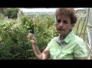 Как размножить жимолость Сайт Садовый мир