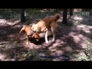 Kangal VS pitbull (питбуль кагнал собачьи бои)