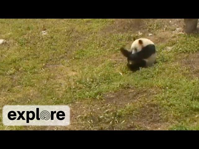Meet Hua Rong The Amazing Rolling Panda - Live Cam Highlight