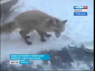 Дикая лиса вышла к людям в Иркутске,