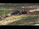 Драка крупных аллигаторов