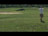 Гигантские аллигатора прогулки по Флориде поле для гольфа