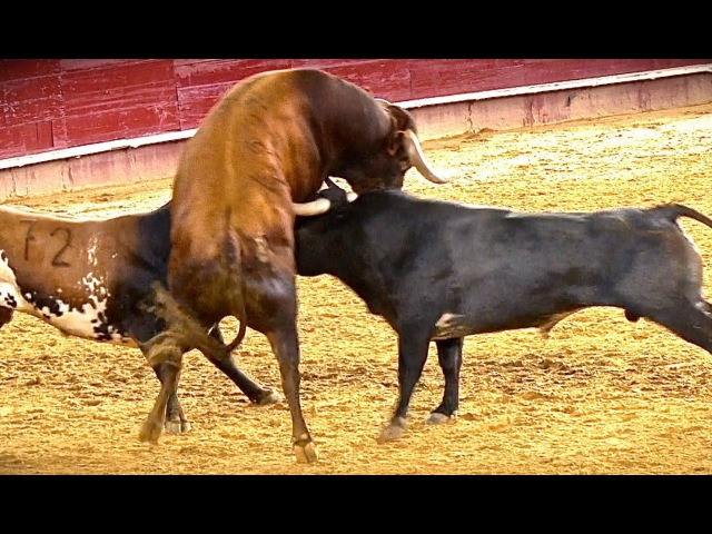 ¡¡ ESPECTACULAR !!La Bravura de los Miuras en Valencia y toro en cuerda GODELLETA