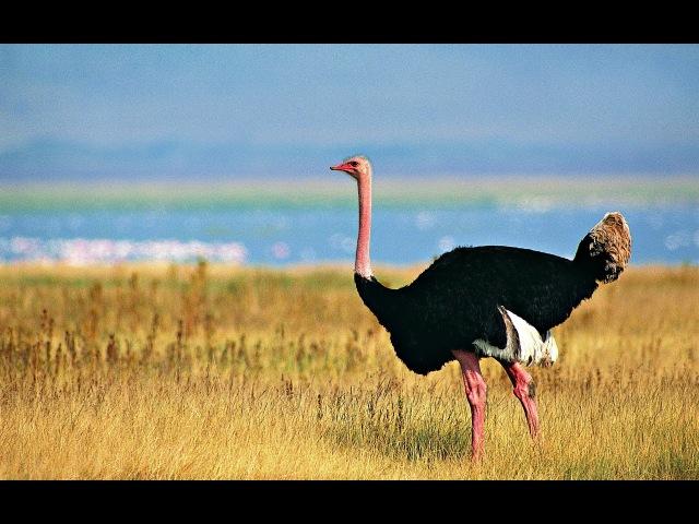 Жизнь африканского страуса. Документальный фильм. » Freewka.com - Смотреть онлайн в хорощем качестве