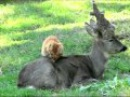 Cat and Roe Deer are Friends (Odessa Zoo, Ukraine)