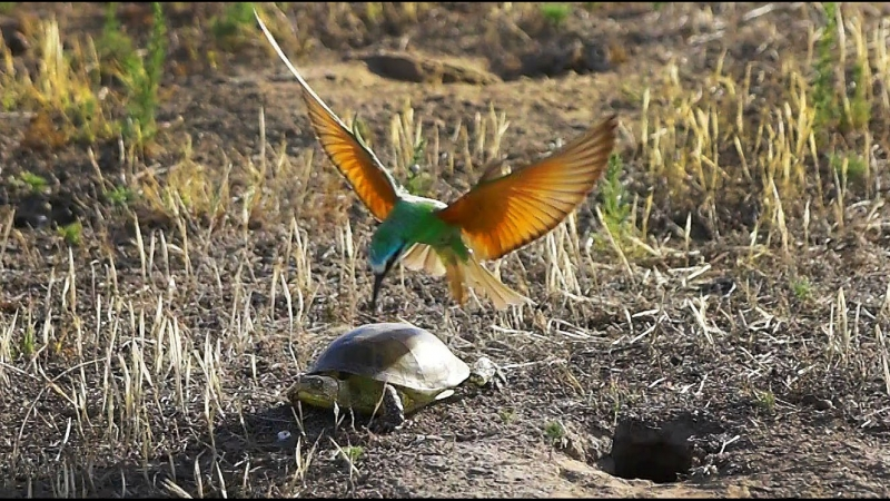 Птица против черепахи. Blue-cheeked Bee-eater vs. European pond turtle.