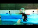 Дельфинарий.Белуха Полина рисует моржиху Соню!24.01.16г.