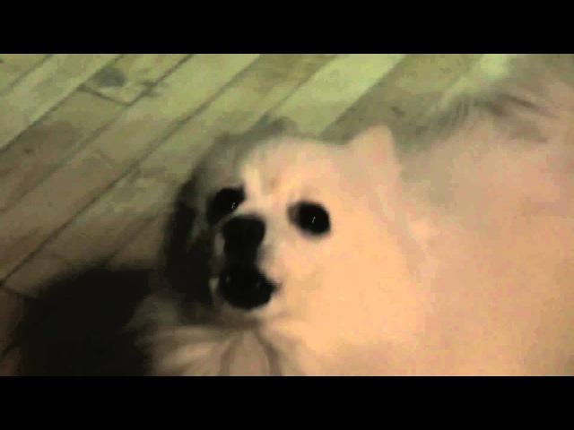 Armin van Buuren - Ping Pong (Hardwell Remix) Dog Cover