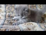 Длинношерстные и няшные британские котята